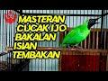 Masteran Cucak Ijo Muda Bakalan Isian Tembakan  Mp3 - Mp4 Download