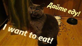 Хочу есть! I want to eat! Кошачий крик души. Дайте есть!
