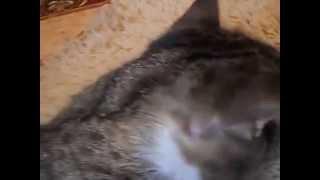 Как удалить клеща у кошки