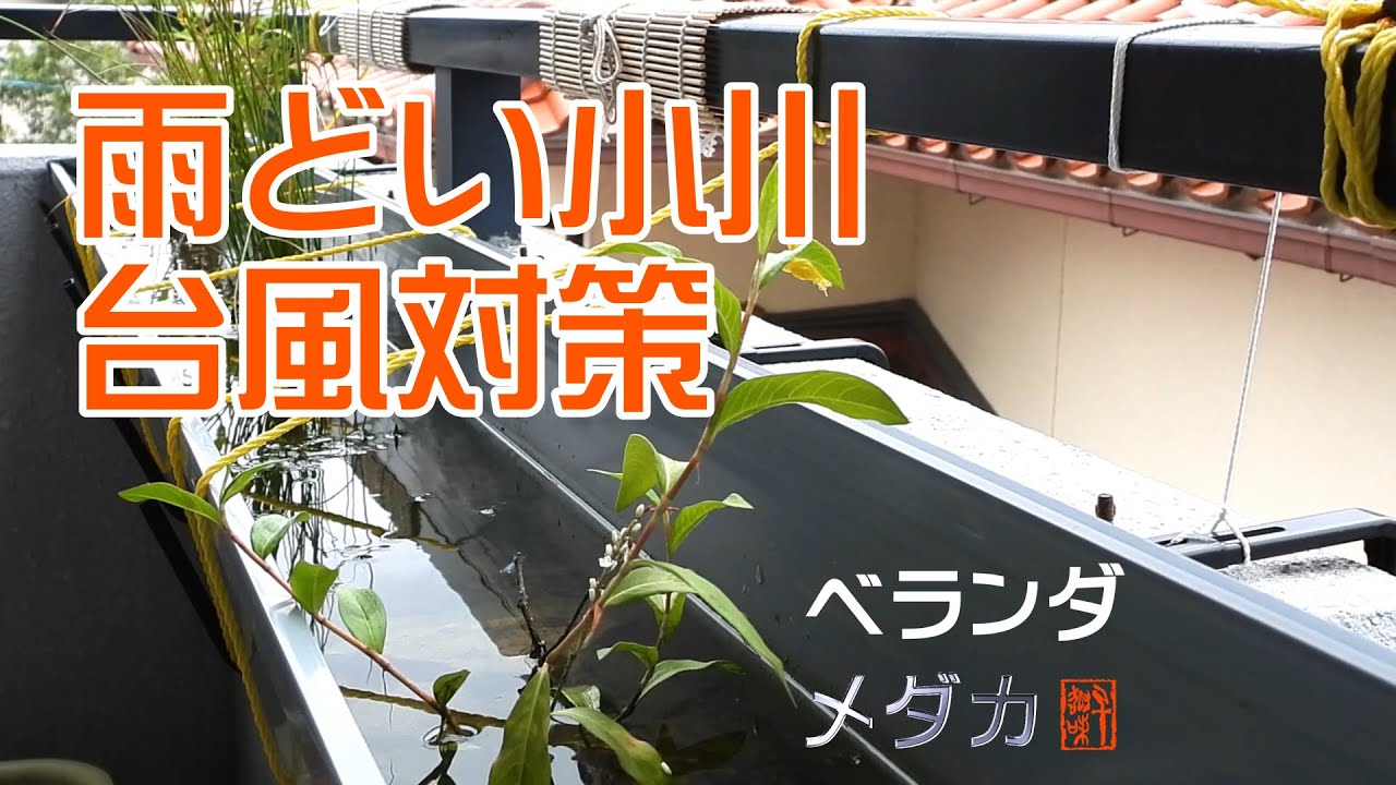 ベランダメダカ⑦~雨どい小川の台風対策