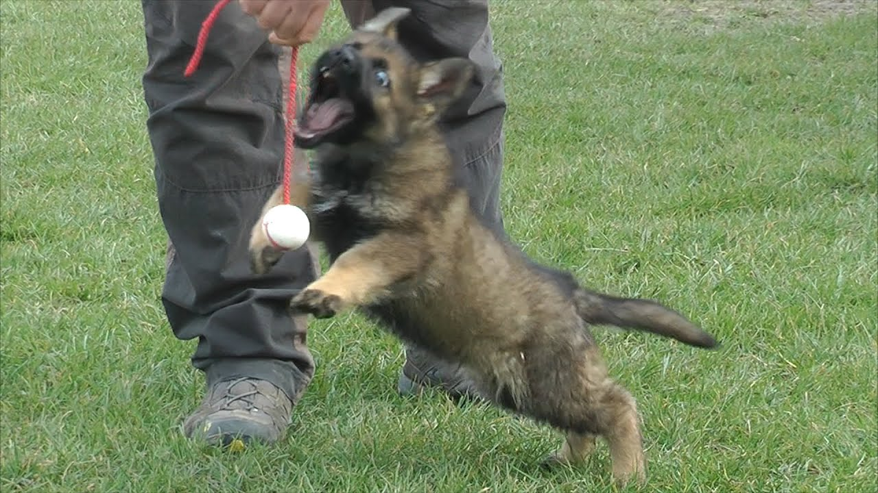 Weight of German Shepherd puppies by months. How to choose and how to feed a German Shepherd puppy