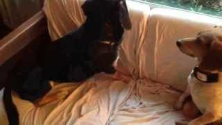 Hound Dog (beagle Mix) Attempts To Howl After Coming Out Of Anesthesia, Only Halfway Succeeds!