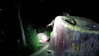 Жук олень нападает на человека