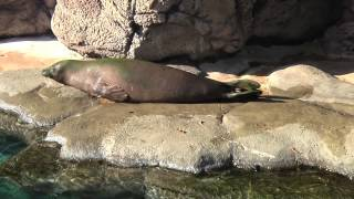 Moving by Degrees: Hawaiian Monk Seal