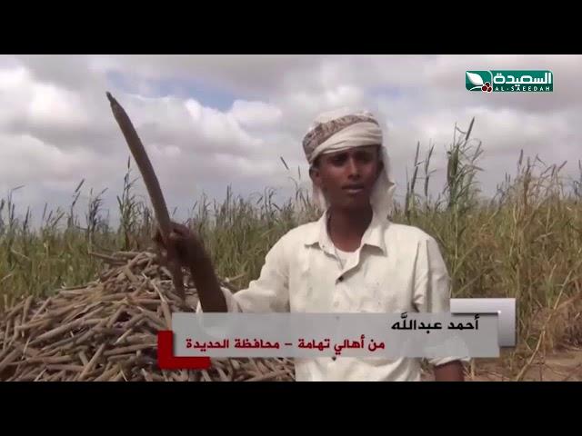موسم خصب للذرة والدخن في المنيرة بمنطقة تهامة