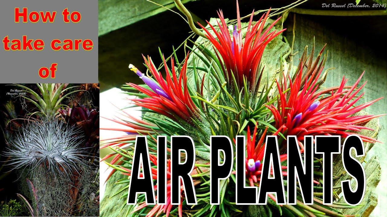 taking care of air plants tilandsias youtube. Black Bedroom Furniture Sets. Home Design Ideas