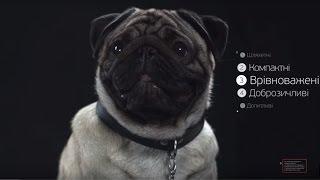 Мопсы ➠ Узнайте все о породе собаки
