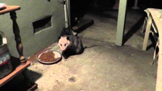 HUGE awesome opossum possum fairfield california + kitty cat