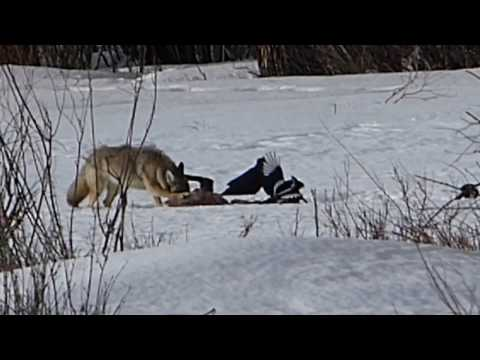 Yellowstone Coyote & Carcass