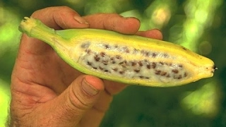 Добываем семена из банана