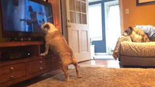 Bulldog Gets BIG Scare During Horror Scene