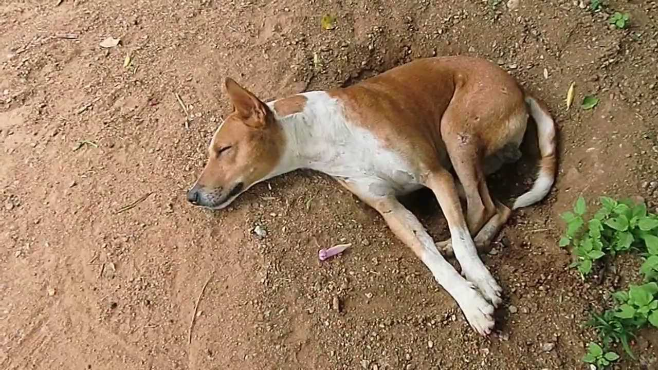Digger Dogs Indian Pariah Dogs Youtube