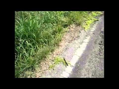 40.55 microSv/h (!!) Nakanomori roadside dust, Namie, Fukushima, Sep 2013
