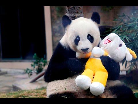 Панда в домашних условиях