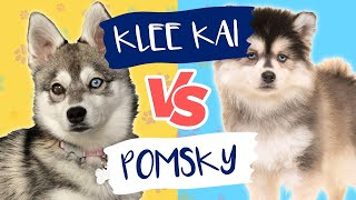 Pomsky VS. Alaskan Klee Kai