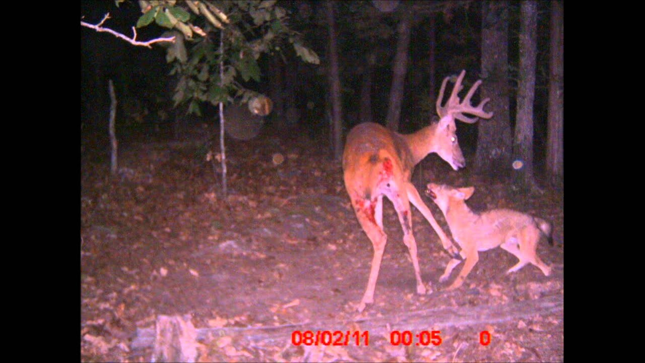 coyotes vs whitetail buck.wmv - YouTube