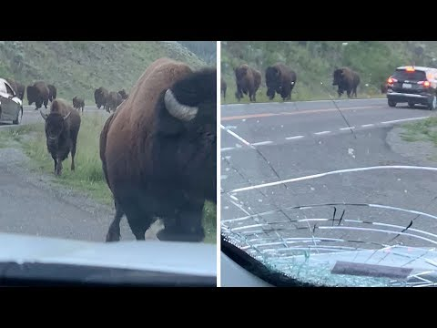 National News - Bison Rams Rental Car During Stampede In Yellowstone National Park