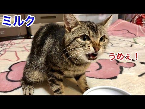 風呂あがりのミルクがウマ過ぎてお喋りしながらガブ飲みする猫w
