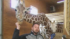 April The Giraffe Pregnant AGAIN Just Months After Giving Birth?