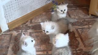 Питомник Cat's Perfection- британские котята продажа