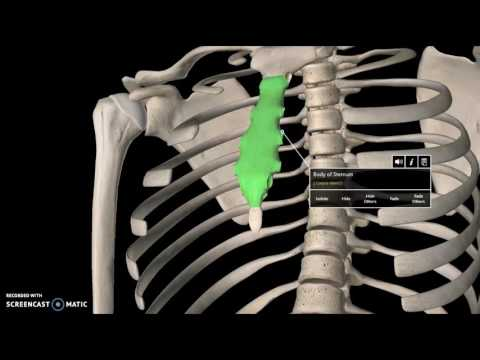 Rib Cage Anatomy Tutorial (Bone)