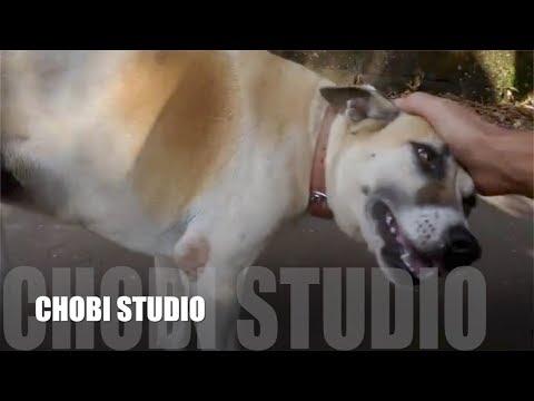 【マンガロール犬チョビさん】 嬉しくてクネクネするインド犬チョビ