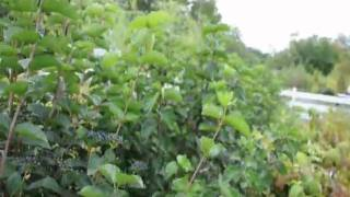 We Offer   A1 Trees and Shrubs In  Bucks County In Eastern Pa