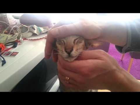 Oriental cat cuddle