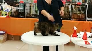 Cat exhibition Bobtail cat 2