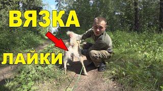 3 совета по вязке собаки для начинающих охотников!