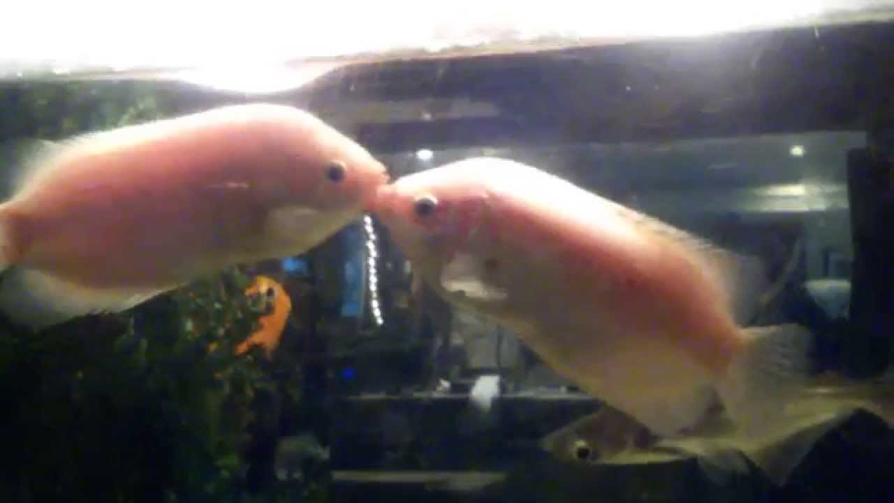 Kissing fish kissing gourami funny youtube for Kissing gourami fish