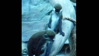 кайф обезьян