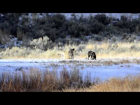 Yellowstone Canyon Wolf Pack Video 204.MOV