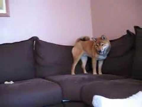 Funny (and odd?) Shiba Inu Behaviour