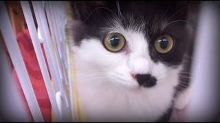 おもしろい顔をした綺麗な子猫です。よちよち歩きが可愛い。甘い鳴き声...