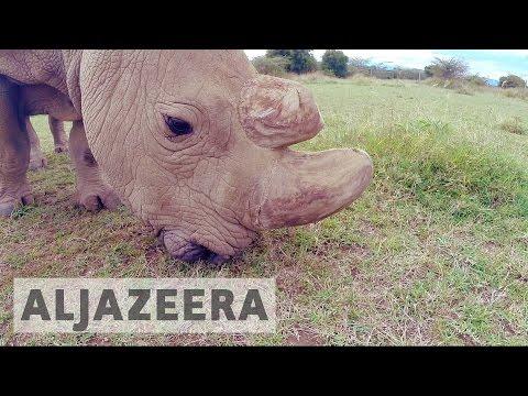 Kenya: IVF hoped to save northern white rhino from extinction
