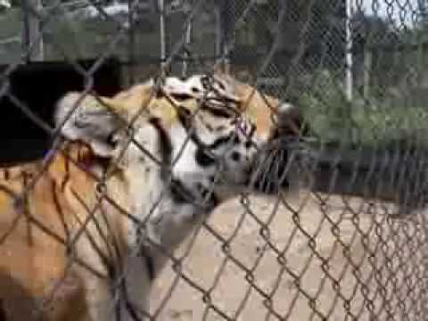 Tigers can't purr, but when they are happy they chuff ? r/videos