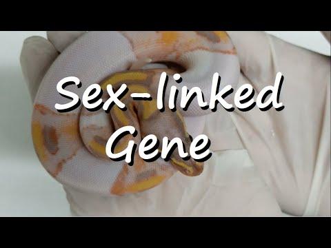 Ball Pythons: Coral Glow Banana Male Maker Clutch