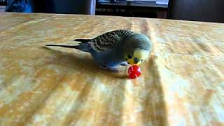 Parkiet Okki, voetbalt, praat en fluit! Parakeet Okki, plays soccer, talks and whistles!