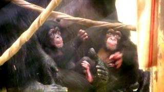 Download Video 東山チンパンジー 双子の赤ちゃん 30  Chimpanzee twin baby MP3 3GP MP4