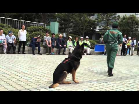 警察犬服従訓練 演技