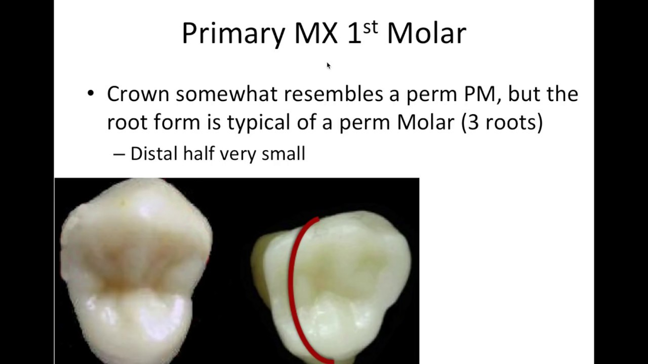 12 Primary/Deciduous Dentition - NBDE Part 1 Boards Study - YouTube
