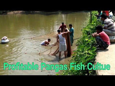 Pangasius Fish Farming Process  profitable Pangas Fish Culture Technique