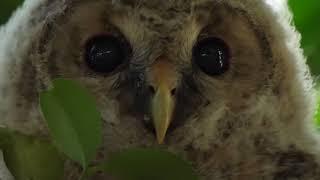 この季節、鳥達の巣立ちが続いています、今期2場所目となる「フクロウ」...