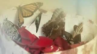 видео Салют из живых бабочек на свадьбу спб
