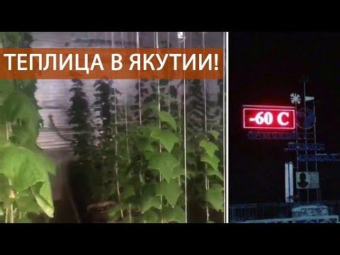 Теплица в Якутии или как выращивать огурцы дома под фитолампами в минус 30