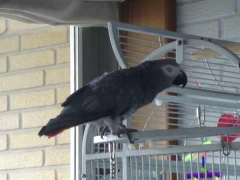 snakkende papegøje