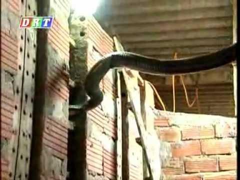 CHĂN NUÔI: mô hình nuôi rắn hồ trâu