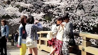 Sakura, Cherry Blossoms, in Tokyo 2014 [iPhone 4S/HD]