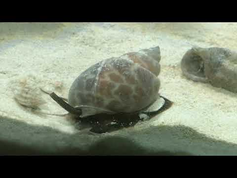 """Large Speckled Nassarius Snail 🐌 """"He goes under the sand"""" never will we see him again Rare footage"""